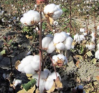 Australian cotton crop production on track for 2017-18
