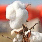 Cotton prices on the rise after India overtakes China as largest