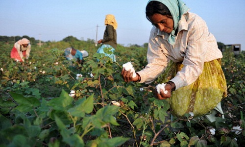 Cotton prices on the rise after India overtakes China as largest producer