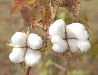 India to see a stronger cotton production year in 2017-18, says USDA