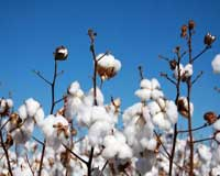 Quick guide to benefits of organic cotton production