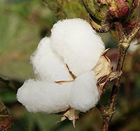 Unlocking India's cotton potential needs more focus on seeds, production