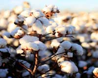 Uptake of sustainable cotton needs a boost from brands retailers