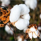 Vietnams cotton demand sees an upsurge for 6th consecutive year
