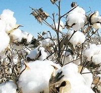 CAI increases India's cotton estimate for new season, consumption to rise