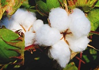 Cotton's growth continues as the most preferred fiber: Study