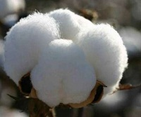 Increasing cotton exports boosts profit margins