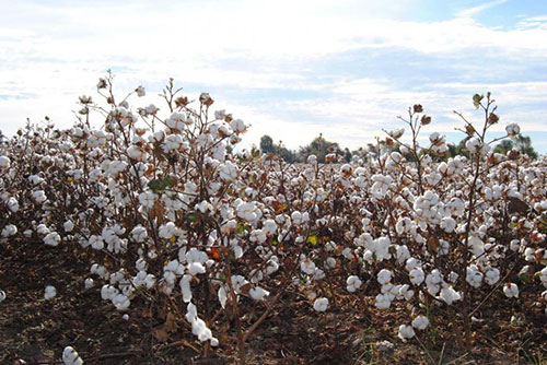 Trade war overproduction to impact cotton prices in 2019 20