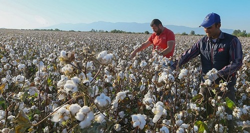 Turkeys cotton production gets governments policy