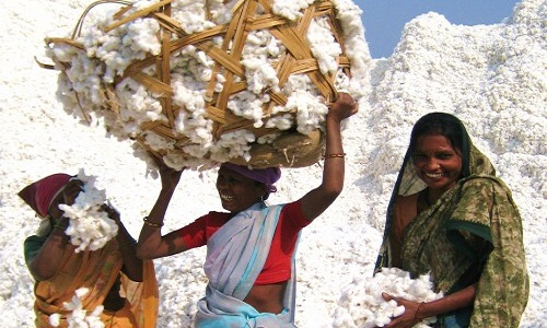 Indias growing expanse of sustainable cotton