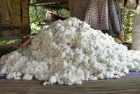 Indias growing expanse of sustainable cotton farming