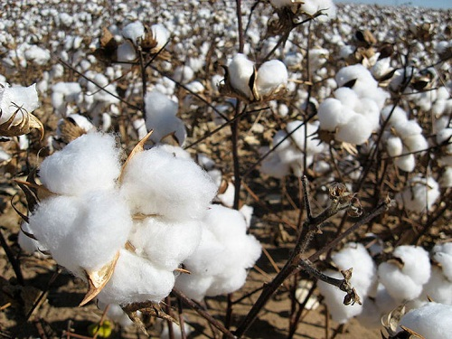 Cotton processing market to reach 72.6 billion by 2023232323232323233232323