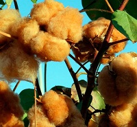 India gears up for commercial release of colored cotton in 2021